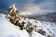 First Snow. Lonely autumn larch on a hillside covered with first snow Stock Photos