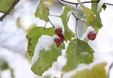 First snow 2. Red berries with green leaves under first snow royalty free stock images