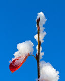 First snow. New buds and an old leaf covered by the first snow of the season Royalty Free Stock Image
