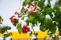 Free First Snow And Arrowwood Red Stock Images - 34178144