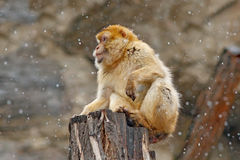 First snow with animal. Barbary macaque, Macaca sylvanus, sitting on the rock, Gibraltar, Spain. Wildlife scene from nature. Cold. First snow with animal Stock Image