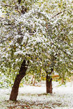 First snow on apple trees in autumn Stock Photo