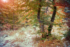 First snow in autumn forest. Stock Image