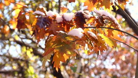 The first snow in the autumn park.Autumn leaves swaying in the wind. Yellow leaves in drops of water close-up. Autumn maple leaves in the snow. The first snow stock video footage