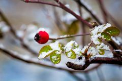 The first snow on a branch with berries of brier and yellow leaves, the beginning of winter_ royalty free stock photography