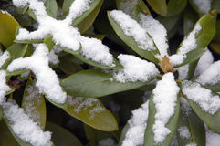 First snow on bushes Royalty Free Stock Photography