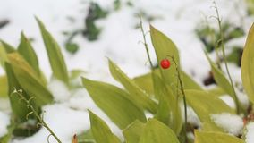 First snow in the city. Cold fall season. First snow in the city. Green leaves in the snow stock footage