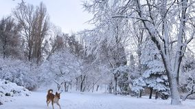 First snow in the city park with trees under fresh snow at sunri. Se. Sunny day in the winter city park. Red dog walking runs around the park stock video footage
