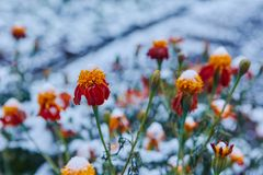The first snow covered autumn flowers. Petals freeze and die from low temperatures. The concept of the coming winter and cold, far. Ewell to the summer royalty free stock images