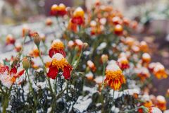 The first snow covered autumn flowers. Petals freeze and die from low temperatures. The concept of the coming winter and cold, far. Ewell to the summer stock photography