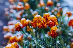 The first snow covered autumn flowers. Petals freeze and die from low temperatures. The concept of the coming winter and cold, far. Ewell to the summer royalty free stock image