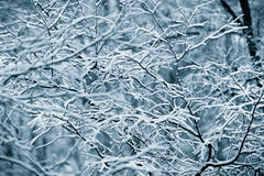 First snow covered branches Stock Image
