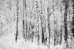 First snow covered branches Royalty Free Stock Photos