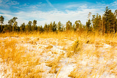 First Snow Covered The Dry Yellow Grass In Forest Royalty Free Stock Photo