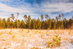 First Snow Covered The Dry Yellow Grass In Forest Royalty Free Stock Image