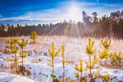 First Snow Covered The Dry Yellow Grass In Forest Stock Photography