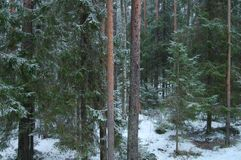 First snow in a dense pine forest. stock photography