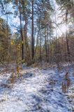 First snow. The first snow dropped in the forest Royalty Free Stock Photo