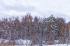 First snow. The first snow dropped in the forest Royalty Free Stock Images