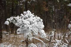 A tree in cold and white snow. The first snow fell. All the bushes, trees and grass have become very beautiful and elegant royalty free stock photography