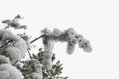 A twig of a tree in cold and snow-white snow. The first snow fell. All the bushes, trees and grass have become very beautiful and elegant royalty free stock photo