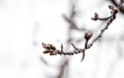 The first Snow fell on the branch to eat Royalty Free Stock Photography