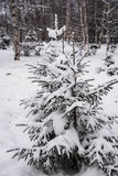 The first Snow fell on the branch to eat Royalty Free Stock Images