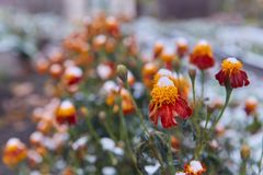 The first snow fell on orange and yellow flowers. Flowers freeze and die from the first frost. The first snow fell on orange and yellow flowers. Flowers freeze stock photos