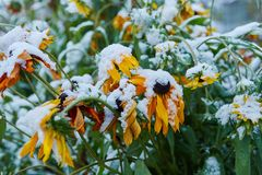 The first snow fell on orange and yellow flowers. Flowers freeze and die from the first frost. The first snow fell on orange and yellow flowers. Flowers freeze stock images