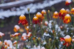 The first snow fell on orange and yellow flowers. Flowers freeze and die from the first frost. The first snow fell on orange and yellow flowers. Flowers freeze royalty free stock photos