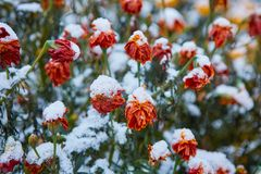 The first snow fell on orange and yellow flowers. Flowers freeze and die from the first frost. The first snow fell on orange and yellow flowers. Flowers freeze stock photo