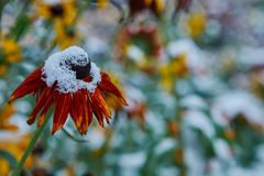 The first snow fell on orange and yellow flowers. Flowers freeze and die from the first frost. The first snow fell on orange and yellow flowers. Flowers freeze royalty free stock photography