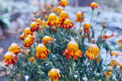 The first snow fell on orange and yellow flowers. Flowers freeze and die from the first frost. The first snow fell on orange and yellow flowers. Flowers freeze royalty free stock photo