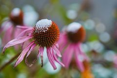 The first snow fell on orange and yellow flowers. Flowers freeze and die from the first frost. The first snow fell on orange and yellow flowers. Flowers freeze stock photography