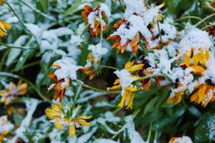 The first snow fell on orange and yellow flowers. Flowers freeze and die from the first frost. The first snow fell on orange and yellow flowers. Flowers freeze royalty free stock image