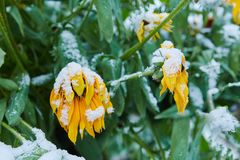 The first snow fell on orange and yellow flowers. Flowers freeze and die from the first frost. The first snow fell on orange and yellow flowers. Flowers freeze royalty free stock images