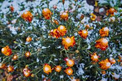 .The first snow fell on orange and yellow flowers. Flowers freeze and die from the first frost. The first snow fell on orange and yellow flowers. Flowers freeze stock image
