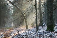 First snow at forest. Just before misty sunset Royalty Free Stock Image