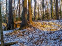 First snow in the forest royalty free stock photography