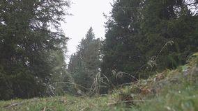 First snow in the forest. Slow motion shot of first snow falling in the autumn pine forest. Young trees and foliage covered with snow. Beauty in nature stock video