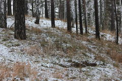 First snow in the forest Royalty Free Stock Image