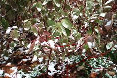 First snow and green leaves Stock Photo