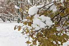 First snow on green leaves in December Stock Image