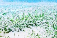 First snow. On the green oats field Stock Image