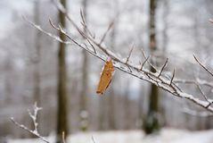 The first snow has covered the lost leaves of beech trees . Beech forest royalty free stock photos