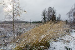 The first snow and ice. Strand high yellow grass, pignata the ice-storm. Young birch in shining icicles Stock Photo