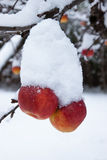 First snow and last apples. Beautiful works of winter, frost and snow Stock Image