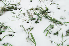 The first snow lay on the green grass, lawn Royalty Free Stock Image