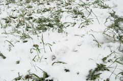 The first snow lay on the green grass, lawn Royalty Free Stock Photography