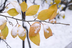 First snow lies on the green-yellow autumn leaves Royalty Free Stock Image